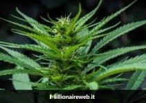 Investire e guadagnare con la Cannabis Light conviene ancora?