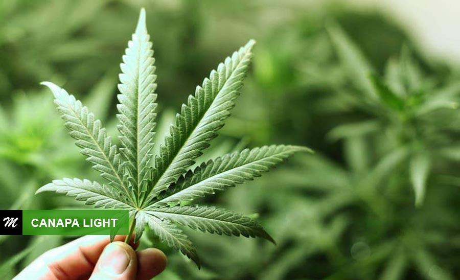 Investire nella Canapa light